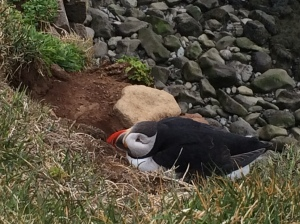 Puffin outside burrow at Latrabjarg