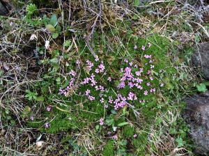 Tiny pink flowers beside a glacier